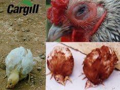 Bệnh dịch tả ở gà