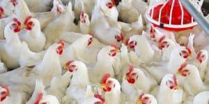 Các yếu tố ảnh hưởng đến FCR trên gà thịt