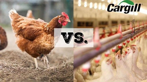 chương trình nuôi gà công nghiệp