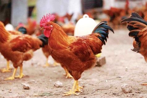 chia sẻ kinh nghiệm chăn nuôi gà trang trại