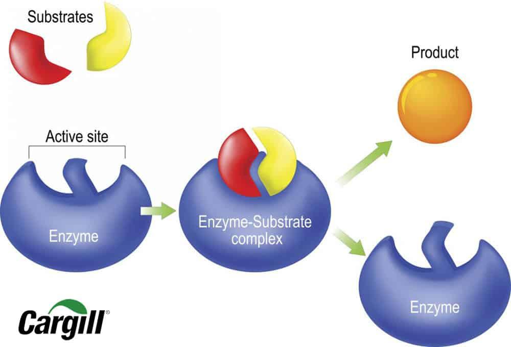 Thế nào là enzymes