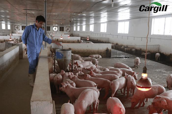 năng suất chăn nuôi heo của trang trại