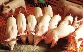 Năng suất chăn nuôi heo hiện nay
