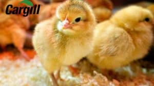 Nguồn dinh dưỡng cho gà mới nở